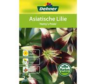 Dehner Blumenzwiebel Asiatische Lilie 'Netty's Pride'