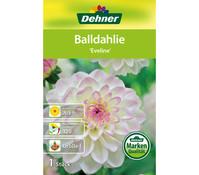 Dehner Blumenzwiebel Balldahlie 'Eveline'