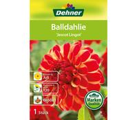 Dehner Blumenzwiebel Balldahlie 'Jescot Lingot'