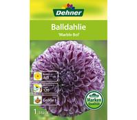 Dehner Blumenzwiebel Balldahlie 'Marble Bol'