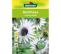 Dehner Blumenzwiebel Berkheya 'Cirsifolia White'