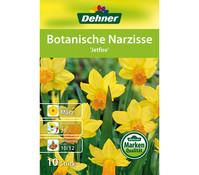 Dehner Blumenzwiebel Botanische Narzisse 'Jetfire'