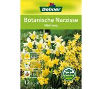 Dehner Blumenzwiebel Botanische Narzisse 'Mischung'
