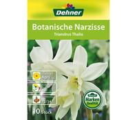 Dehner Blumenzwiebel Botanische Narzisse 'Tirandrus Thalia'