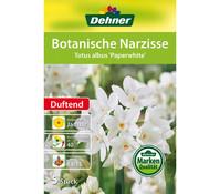 Dehner Blumenzwiebel Botanische Narzisse 'Totus albus Paperwhite'