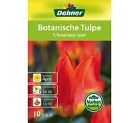 Dehner Blumenzwiebel Botanische Tulpe 'T. fosteriana Juan'