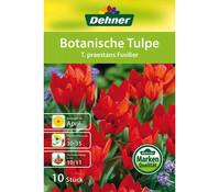 Dehner Blumenzwiebel Botanische Tulpe 'T. praestans Fusilier'
