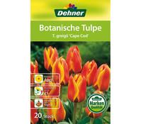 Dehner Blumenzwiebel Botanische Tulpe 'T.greigii Cape Cod'