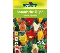 Dehner Blumenzwiebel Botanische Tulpe 'T.greigii' Mischung