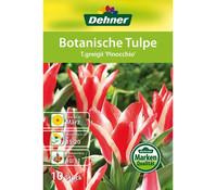 Dehner Blumenzwiebel Botanische Tulpe 'T.greigii Pinocchio'