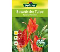 Dehner Blumenzwiebel Botanische Tulpe 'T.greigii Toronto'