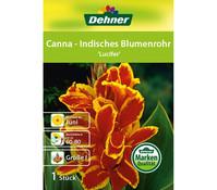 Dehner Blumenzwiebel Canna - Indisches Blumenrohr 'Lucifer'