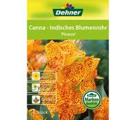 Dehner Blumenzwiebel Canna - Indisches Blumenrohr 'Picasso'