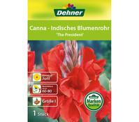 Dehner Blumenzwiebel Canna - Indisches Blumenrohr 'The President'