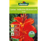 Dehner Blumenzwiebel Canna - Indisches Blumenrohr 'Verdi'