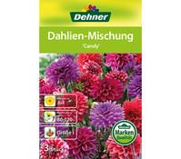 Dehner Blumenzwiebel Dahlien-Mischung 'Candy'