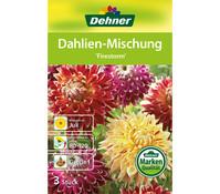Dehner Blumenzwiebel Dahlien-Mischung 'Firestorm'