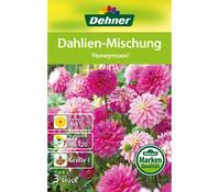 Dehner Blumenzwiebel Dahlien-Mischung 'Honeymoon'