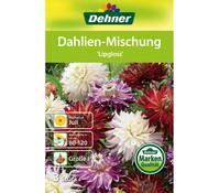 Dehner Blumenzwiebel Dahlien-Mischung 'Lipgloss'