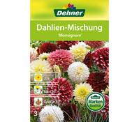 Dehner Blumenzwiebel Dahlien-Mischung 'Monsignore'