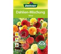Dehner Blumenzwiebel Dahlien-Mischung 'Silvia'