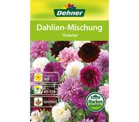 Dehner Blumenzwiebel Dahlien-Mischung 'Violetta'