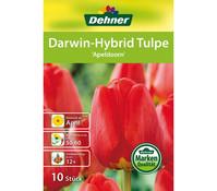 Dehner Blumenzwiebel Darwin-Hybrid Tulpe 'Apeldoorn'