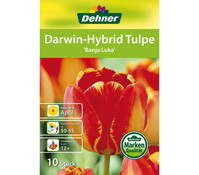 Dehner Blumenzwiebel Darwin-Hybrid Tulpe 'Banja Luka'