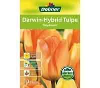 Dehner Blumenzwiebel Darwin-Hybrid Tulpe 'Daydream'