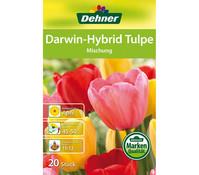 Dehner Blumenzwiebel Darwin-Hybrid Tulpe 'Mischung'