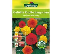 Dehner Blumenzwiebel Gefüllte Knollenbegonien 'Harlekin Mischung'