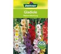 Dehner Blumenzwiebel Gladiole 'Rekord-Mischung'