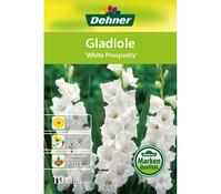Dehner Blumenzwiebel Gladiole 'White Prosperity'