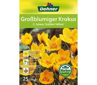 Dehner Blumenzwiebel Großblumiger Krokus 'C. luteus Golden Yellow'