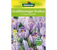 Dehner Blumenzwiebel Großblumiger Krokus 'C. vernus Pickwick'