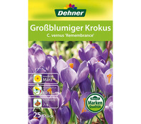 Dehner Blumenzwiebel Großblumiger Krokus 'C. vernus Remembrance'