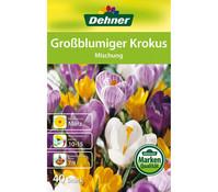 Dehner Blumenzwiebel Großblumiger Krokus 'Mischung'