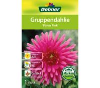 Dehner Blumenzwiebel Gruppendahlie 'Pipers Pink'