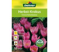 Dehner Blumenzwiebel Herbst-Krokus 'Crocus kotschyanus'