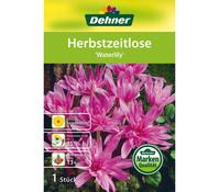 Dehner Blumenzwiebel Herbstzeitlose 'Waterlily'