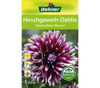 Dehner Blumenzwiebel Hirschgeweih-Dahlie 'Alauna Claire-Obscure'