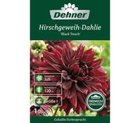 Dehner Blumenzwiebel Hirschgeweih-Dahlie 'Black Touch'