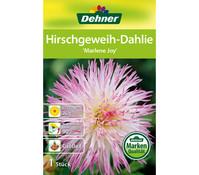 Dehner Blumenzwiebel Hirschgeweih-Dahlie 'Marlene Joy'