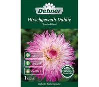 Dehner Blumenzwiebel Hirschgeweih-Dahlie 'Snoho Diane'