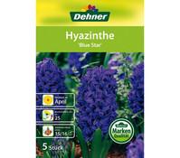 Dehner Blumenzwiebel Hyazinthe 'Blue Star'