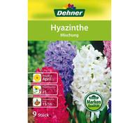 Dehner Blumenzwiebel Hyazinthe 'Mischung'