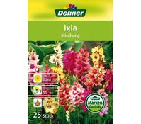 Dehner Blumenzwiebel Ixia 'Mischung'
