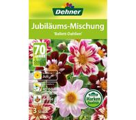 Dehner Blumenzwiebel Juliläums-Mischung 'Ballett-Dahlien'