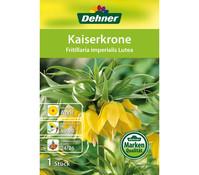 Dehner Blumenzwiebel Kaiserkrone 'Fritillaria imperialis Lutea'