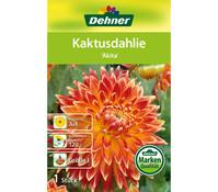 Dehner Blumenzwiebel Kaktusdahlie 'Akita'